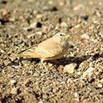Desert lark