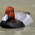 Redhead (bird)