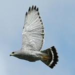 Gray hawk