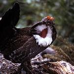 Dusky grouse