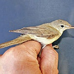 Western olivaceous warbler