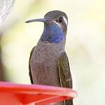 Blue-throated mountaingem
