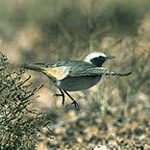 Red-rumped wheatear