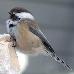 Grey-headed chickadee