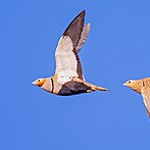 Black-bellied sandgrouse