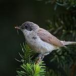 Lesser whitethroat