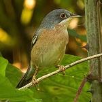 Moltoni's warbler